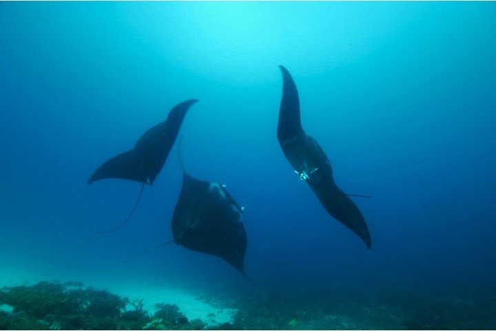 Divine diving - dansende manta's