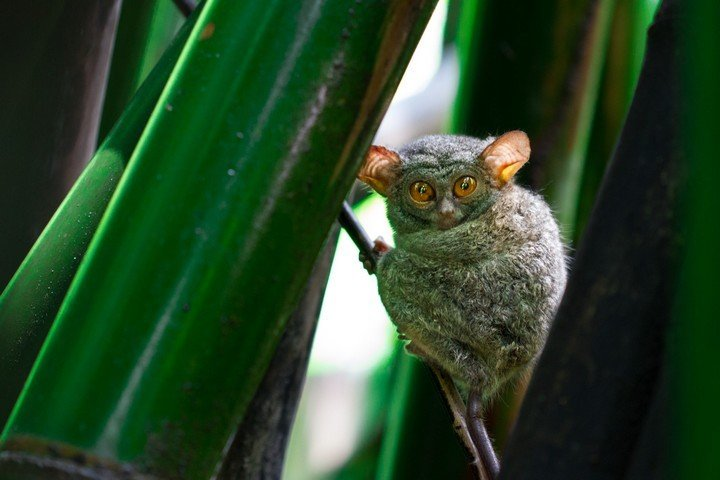 tangkoko national park, tarsier