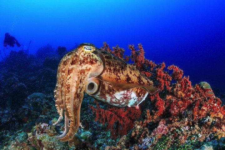 Komodo Matahariku octopus.jpg