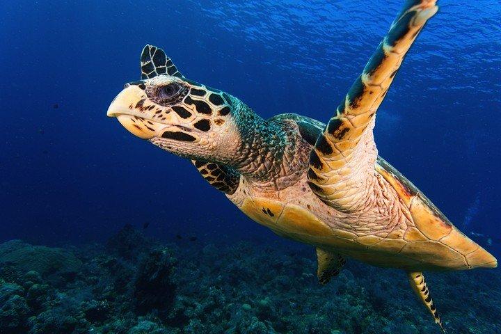 Komodo Matahariku turtle.jpg