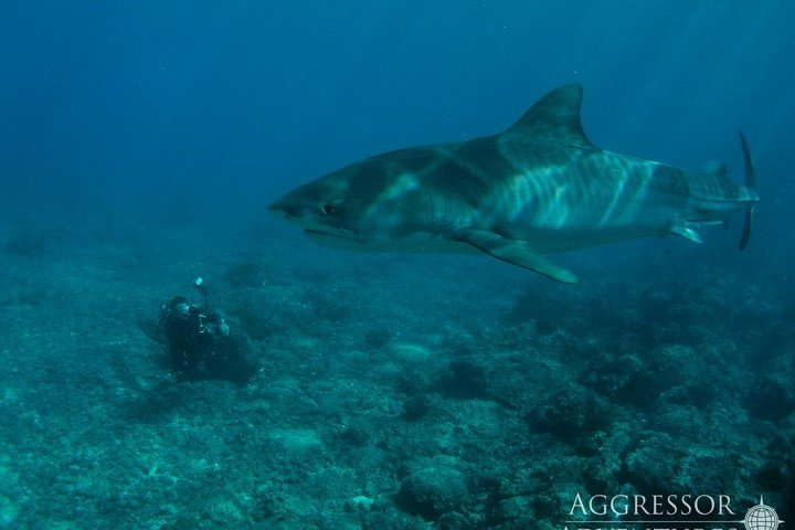 Cocos Island - Agressor Liveaboard - Dive and Travel