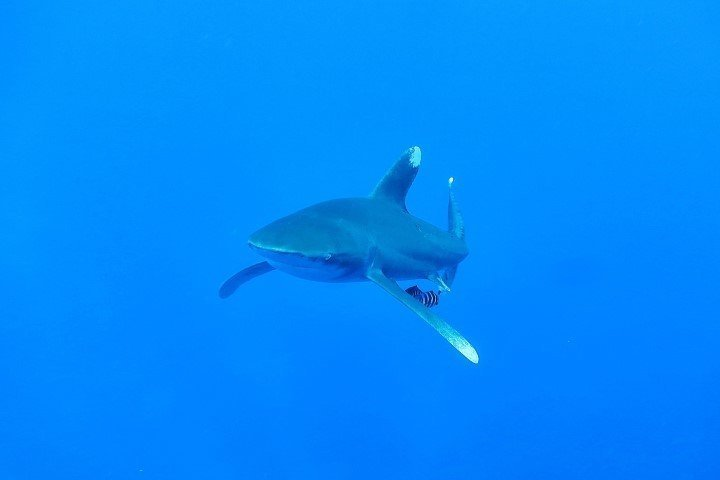 ow big blue liveaboard - oceanic white tip shark