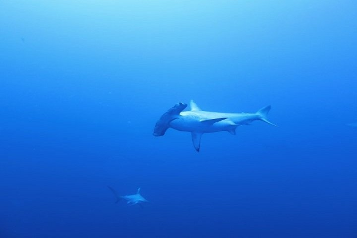 ow big blue liveaboard - hammerhead shark