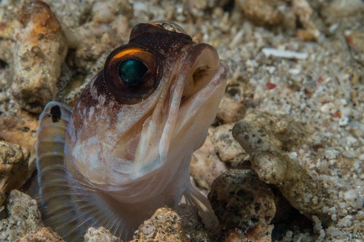 Murex Dive Resort - Goby