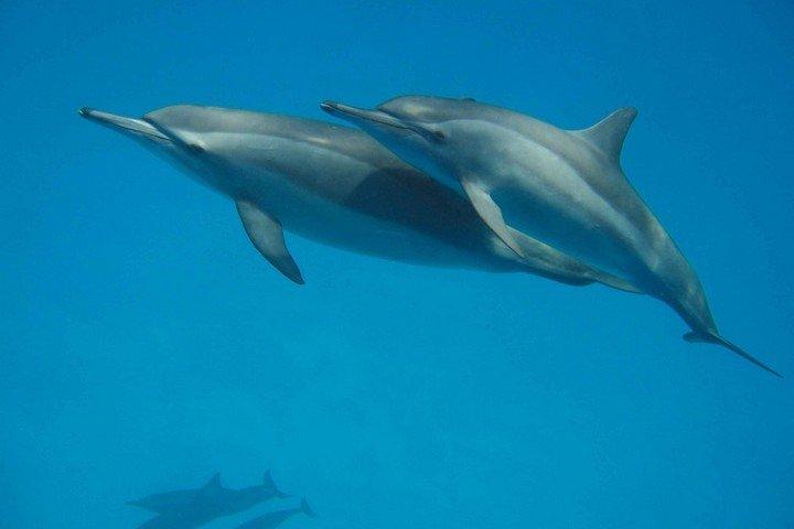 Shagra Diving - dolfijnen