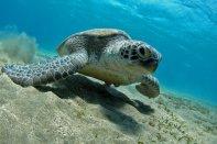 Shams Diving - Schildpad