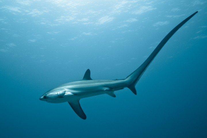 Malapascua Divers - Haai