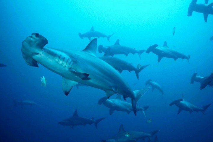 Layang Diving - Hammerhead haai