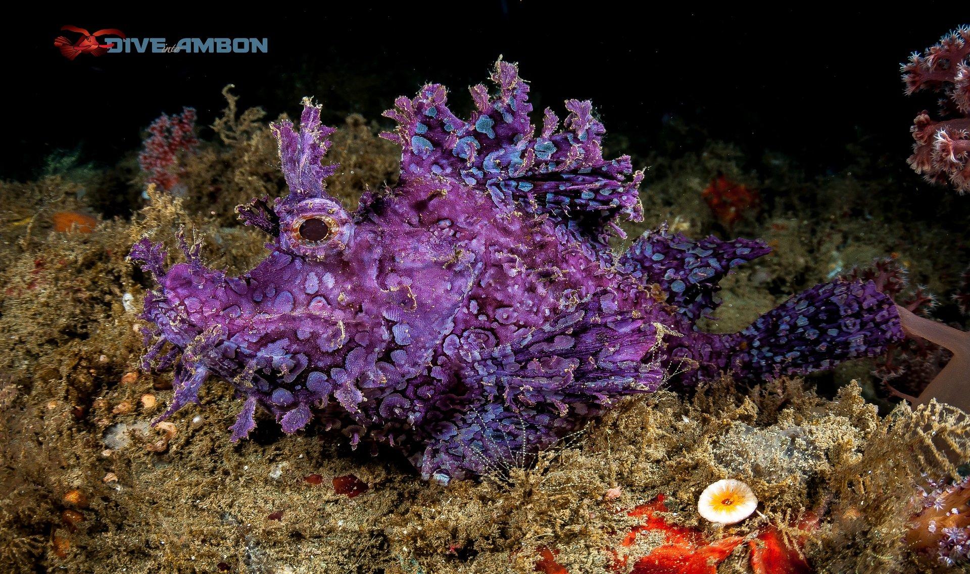 Ambon Scorpionfish Maluku Resort - Dive into Ambon