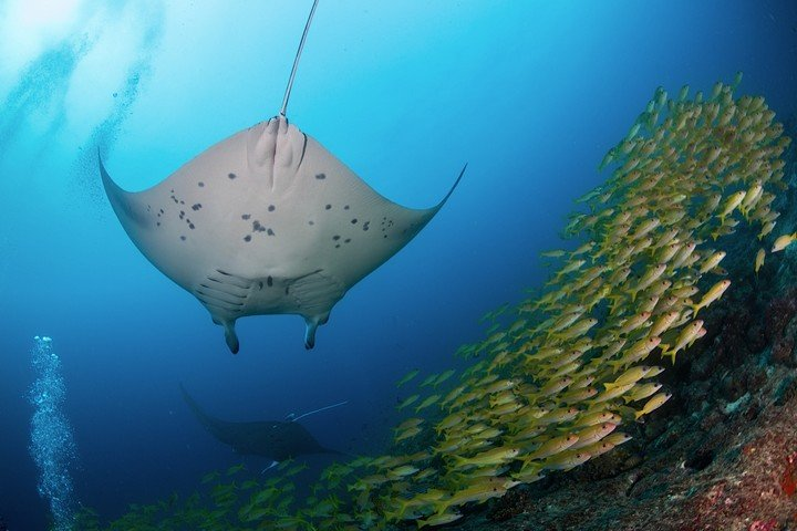 Komodo Matahariku manta ray and yellowfin.jpg