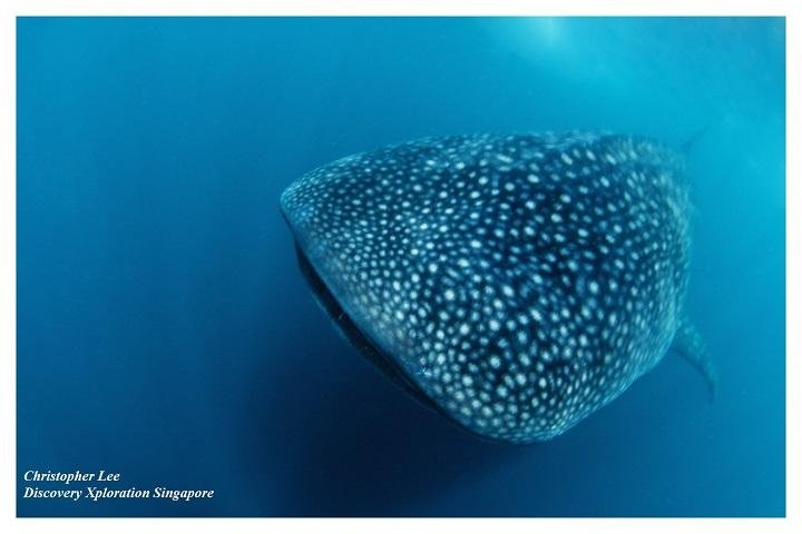Ticao Island Resort whaleshark